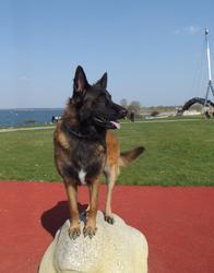 Eiko De Kerprigent Dit Enjoy, chien Berger belge