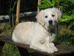 Eimeh, chien Golden Retriever
