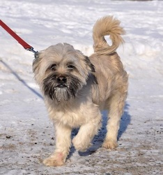 Einstein, chien Norfolk Terrier et Norwich Terrier