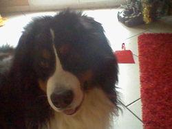 Einstein, chien Bouvier bernois