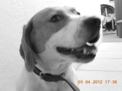 Einstein Dit Titou , chien Beagle