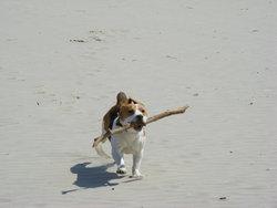 Einstein, chien Beagle
