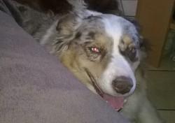 Eirine, chien Berger australien