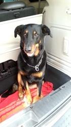 Eisy, chien Beauceron