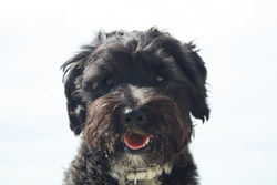 Eiya, chien Terrier tibétain