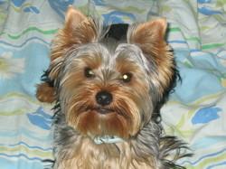 Ekhi, chien Yorkshire Terrier