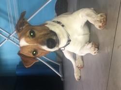 Eko, chien Jack Russell Terrier