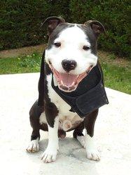 Ekon, chien American Staffordshire Terrier