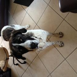 Ektor, chien Mâtin espagnol