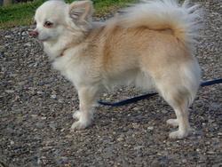 El Sahila, chien Chihuahua
