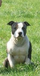 El' Sanka, chien American Staffordshire Terrier