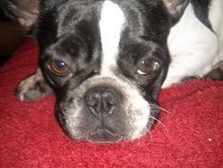 Ela, chien Bulldog