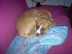 Ela, chien Boxer