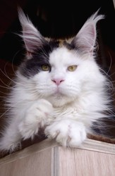 Elaiza Of Baydar, chat Maine Coon