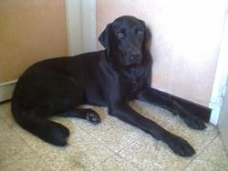 élan, chien Beauceron