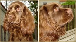 Elastic, chien Sussex Spaniel