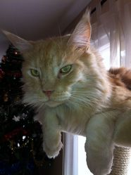 Elboy, chat Maine Coon