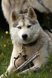 Elcka, chien Husky sibérien