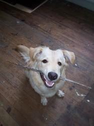 Eldo, chien Golden Retriever