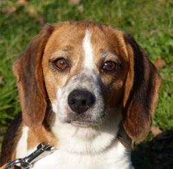 Elea, chien Beagle