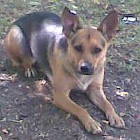 Electra, chien Berger allemand