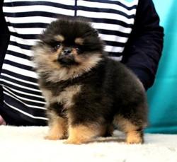 Elegant Black Boy Dit Mars, chien Spitz allemand