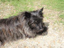 Elektra, chien Cairn Terrier