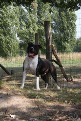 Elektra Von Den Tao'S Wachtern, chien American Staffordshire Terrier