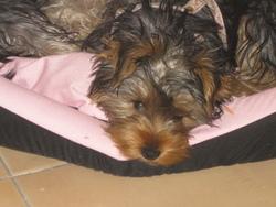 Elena, chien Yorkshire Terrier