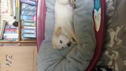 Elena, chien Golden Retriever