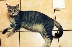 Eleonore, chat Européen