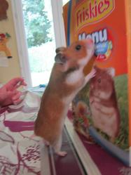 Eleonore, rongeur Hamster