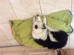 Elfi, chien Border Collie