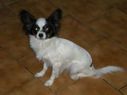 Elfie, chien Épagneul nain continental