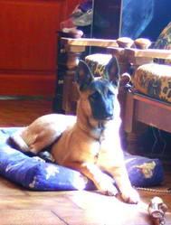 Elfie, chien Berger belge