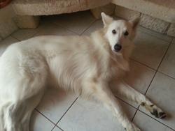Elfie, chien Berger blanc suisse