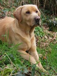 Elfie, chien Labrador Retriever