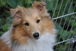 Elfie, chien Berger des Shetland