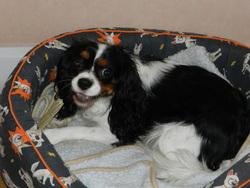 Elfie, chien Cavalier King Charles Spaniel