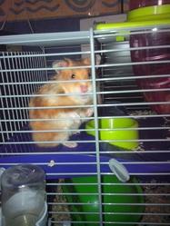 Elfie, rongeur Hamster