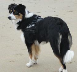 Elfie, chien Berger australien
