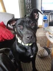 Elfie, chien American Staffordshire Terrier