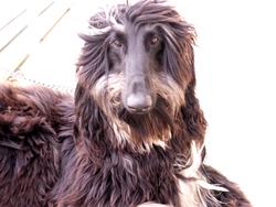 Elfique, chien Lévrier afghan