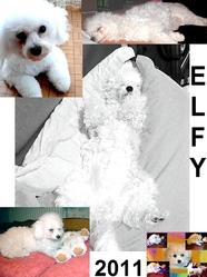 Elfy, chien Bichon à poil frisé