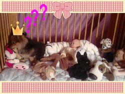 Elfy, chien Spitz allemand