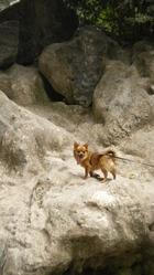 Elfy, chien Chihuahua