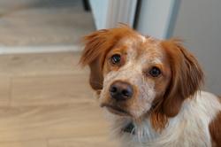 Elfy, chien Épagneul breton