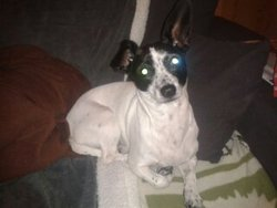 Elfy, chien Jack Russell Terrier