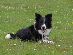 Elfy, chien Border Collie