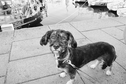 Elga, chien Teckel